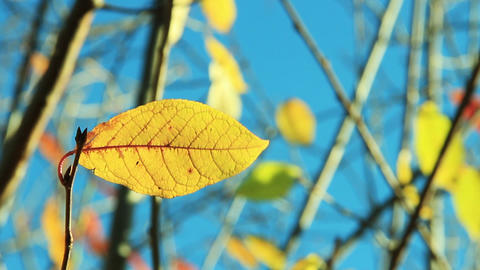 Cherry Tree Leaves In Autumn Swaying Wind stock footage