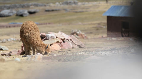 Alpaca grazing revealed Stock Video Footage