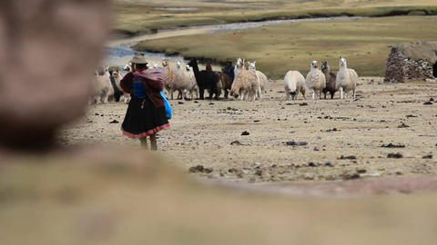 Alpaca herd and traditional villager Footage