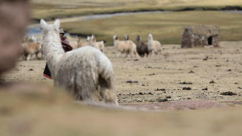 Alpaca herd and traditional villager Stock Video Footage