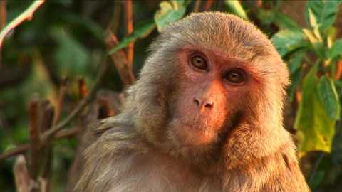 Close-up of monkey Footage