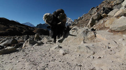 Gliding past yaks coming down the trail Stock Video Footage
