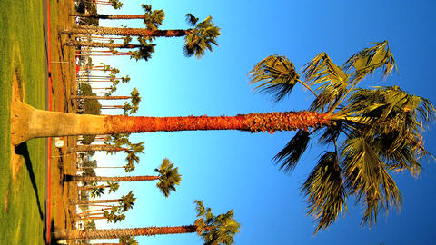 Vertical cluster of palm trees Stock Video Footage