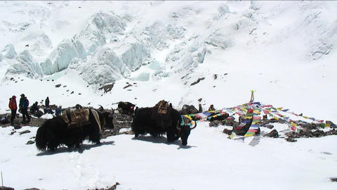 Yaks on snow, north side basecamp Stock Video Footage