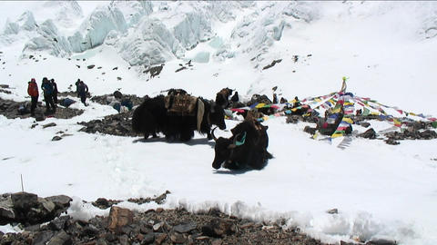 Yaks on snow, north side basecamp Footage