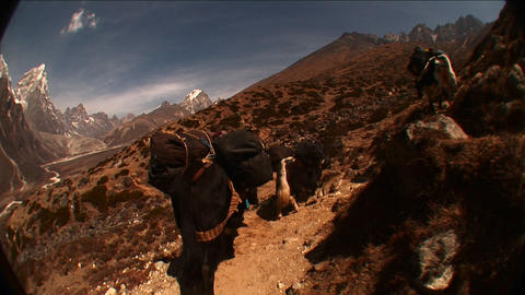 POV following yaks up the trail on the way to Mt. Everest. Stock Video Footage
