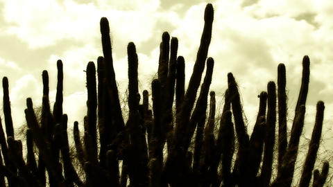 Cactus Timelapse 06 Stock Video Footage