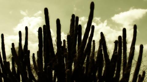 Cactus Timelapse 06 Footage