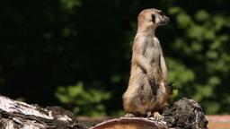 Excited meerkat Stock Video Footage
