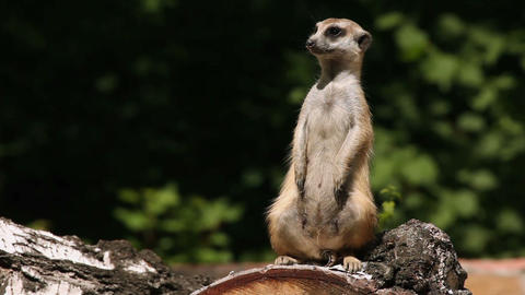 Excited meerkat Stock Video Footage