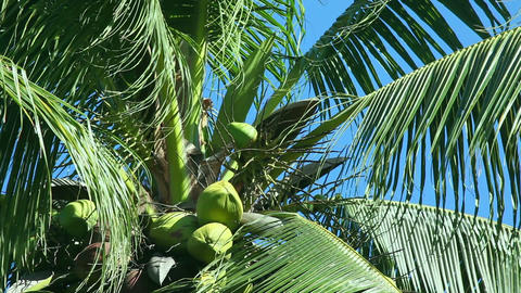Coconut tree Stock Video Footage