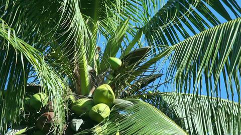 Coconut tree Stock Video Footage