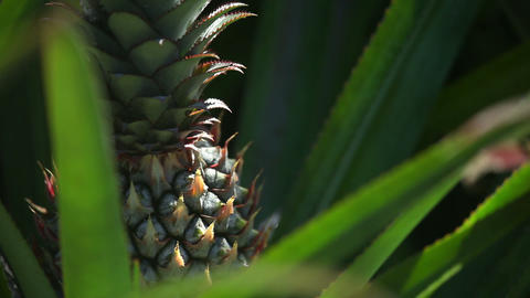 Pineapple stock footage