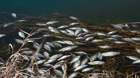 Dead fish. Set footage Stock Video Footage