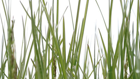 green grass. White background Stock Video Footage