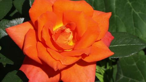 orange rose Stock Video Footage