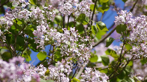 Lilac spring flowering 03 Stock Video Footage