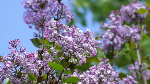 Lilac spring flowering 05 Stock Video Footage