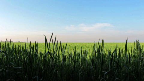 Field Of Wheat Over Blue Sky Stock Video Footage