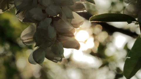 Acacia Flowers In The Sunshine Footage