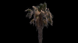 canary palm 02 Stock Video Footage