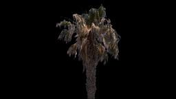 canary palm 02 Footage