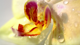 Water Drops Falling On Yellow Orchid Flower 73 stock footage