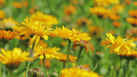 Calendula flowers close-up Stock Video Footage