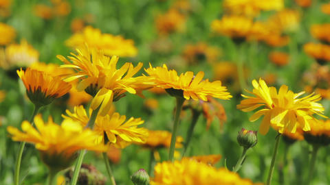 Calendula flowers close-up Footage