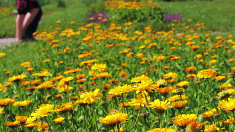 Calendula flowers and walking people in city park Footage