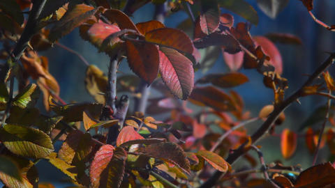 Autumn red leaves swaying in the wind Stock Video Footage