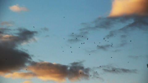 Slow motion birds swarming in evening sky Stock Video Footage