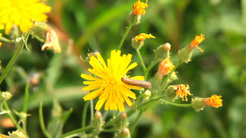 Dandelion flower and a caterpillar on it Footage