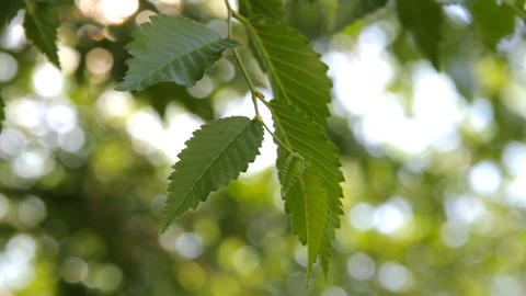 Green leaves and branches of the Elm tree Stock Video Footage