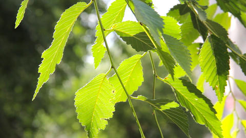Green leaves and branches of the Elm tree Footage