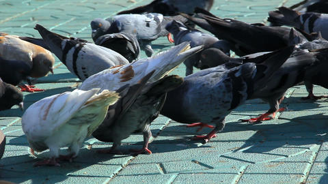 Pigeons and sparrows feed on the sidewalk Stock Video Footage