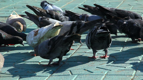 Pigeons and sparrows feed on the sidewalk Footage