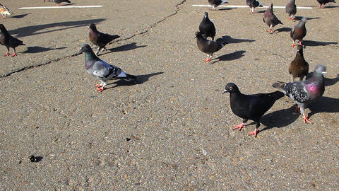 Pigeons on the sidewalk. With panning Stock Video Footage