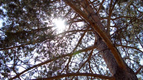 Time Lapse Of Pine Tree Branches And Moving Sun stock footage