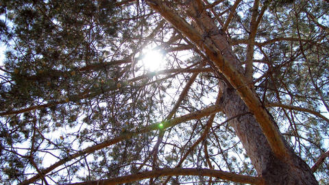 Time lapse of pine tree branches and moving sun Stock Video Footage