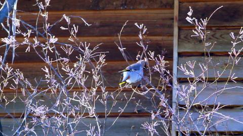 Bohemian waxwing (Bombycilla garrulus) - songbird Footage