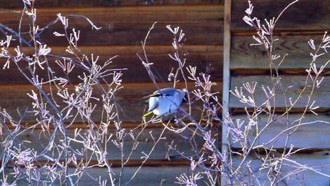 Bohemian waxwing (Bombycilla garrulus) - songbird Stock Video Footage