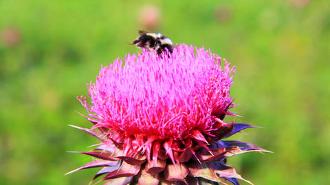 Closeup macro of bumblebee pollinating thistle flo Footage