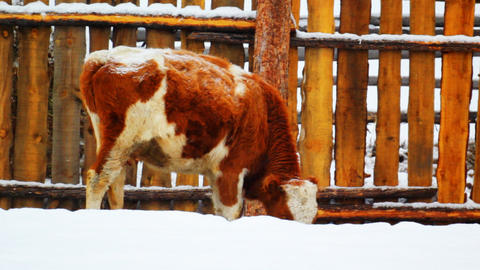 Cow grazing in the winter snow meadow finding dry Footage