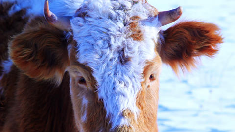 Curious cow looking at camera in the winter snow m Stock Video Footage