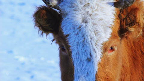 Curious cow looking at camera in the winter snow m Footage