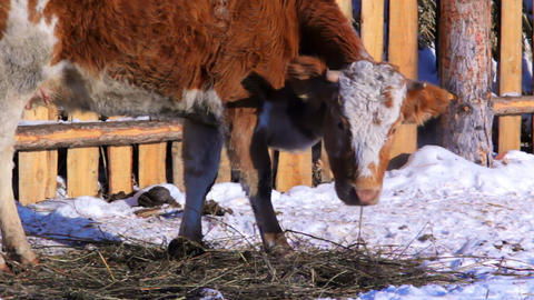 Cow grazing in the winter snow meadow finding dry Stock Video Footage