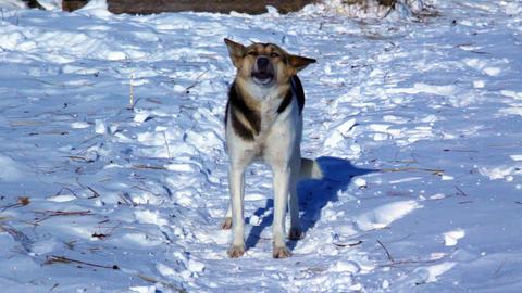 Dog barks in winter snowy field Stock Video Footage