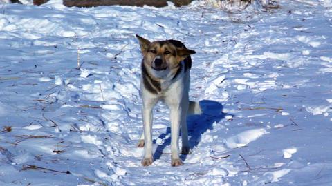 Dog barks in winter snowy field Footage