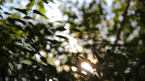 Green leaves and branches of the Elm (Ulmus) tree Footage